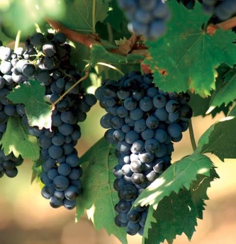 2-grappolo-di-uva